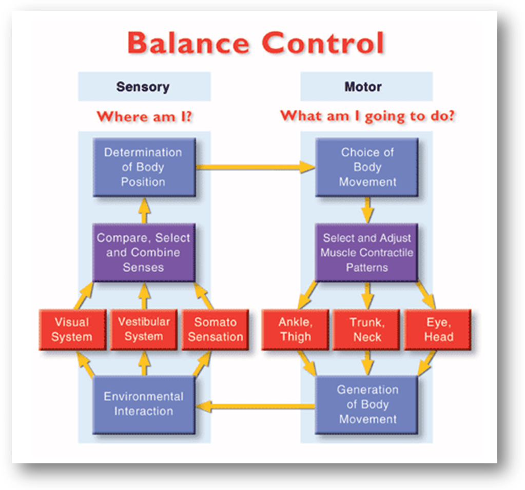 Interaction of sensory input and muscle control for maintaining competent standing balance.