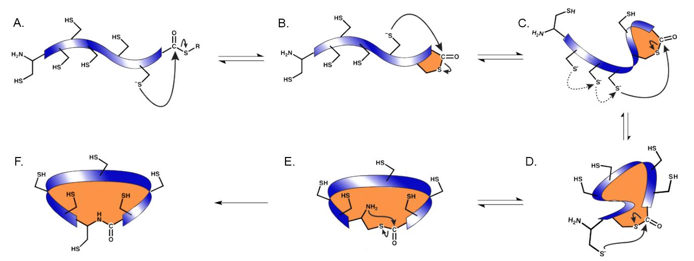 The mechanism of thia-zip macrocyclization