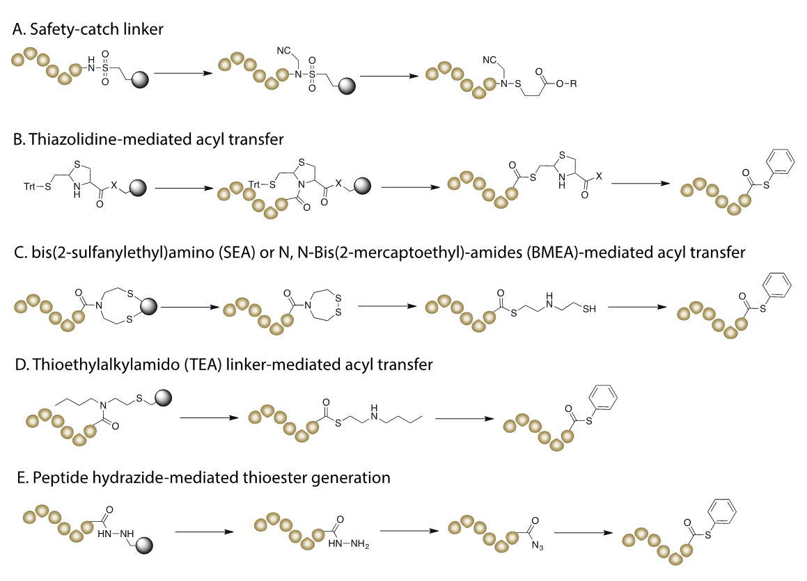 The scheme of five different approaches to generate peptide thioester for NCL.