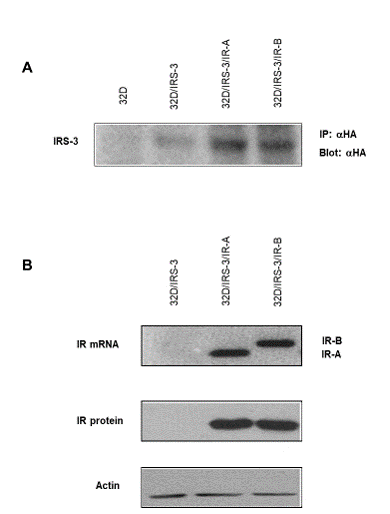 Different Effects of the Insulin Receptor Isoforms on 32D Cell Growth and Differentiation