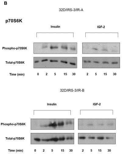 Figure 5: Time-course of ERK1/2 and p70S6 kinase phosphorylation in 32D/IRS-3/IR-A and in 32D/IRS-3/IR-B cells.