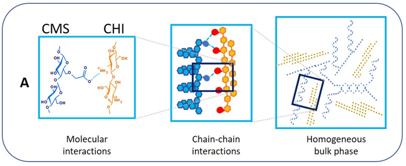 Figure 5A: Schematic presentation of CMS and CHI self-assembly established by electrostatic interactions between anionic carboxylic groups and cationic amino groups