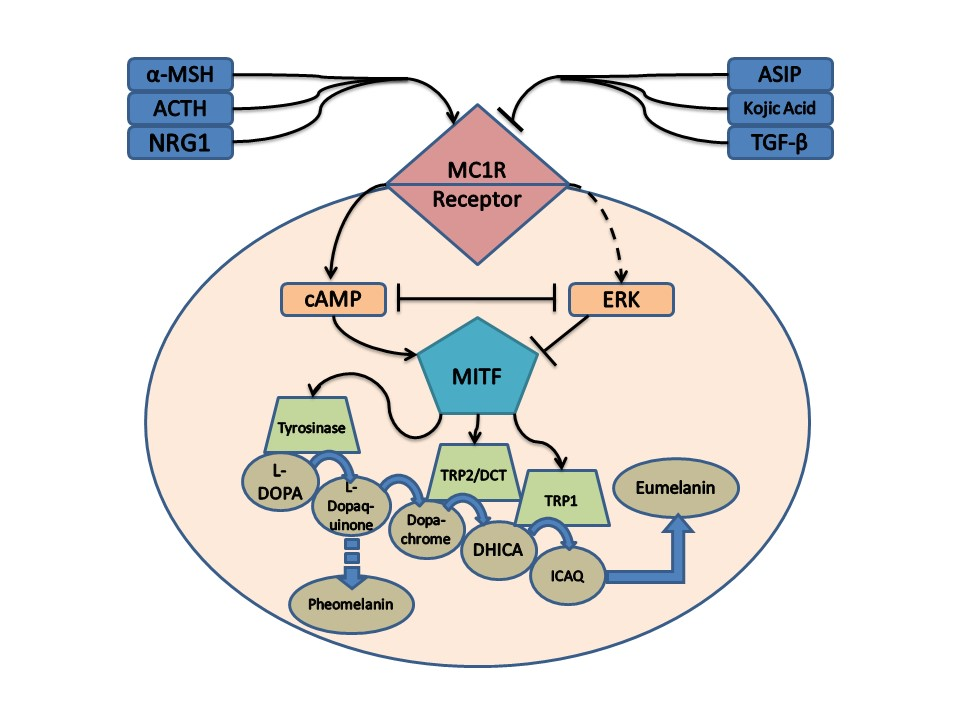 the melanocortin 1 receptor (mc1r) is a specialized g protein-coupled cell  surface