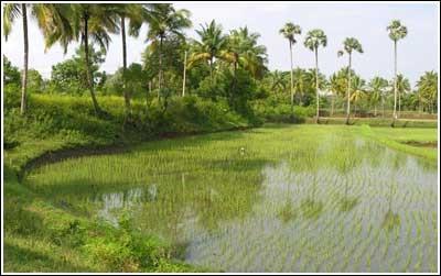 The high bund (varambu) of the pond