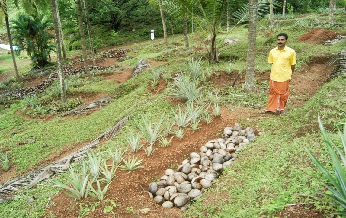 Half-moon bund around the coconut basin reinforced with pine apple